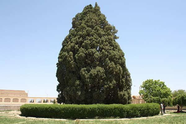 سرو شهیر و کهن 4500 ساله ابرکوه میزبان گردشگران دنیا