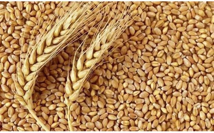 آخرین شرایط کشت و تولید گندم برای سال آینده