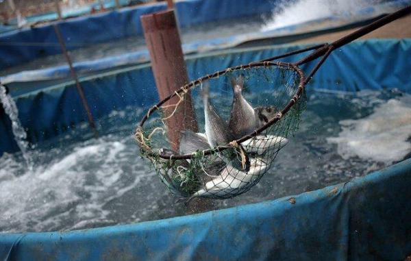 اجرای طرح پرورش ماهی در قفس در سدهای مارون و جره