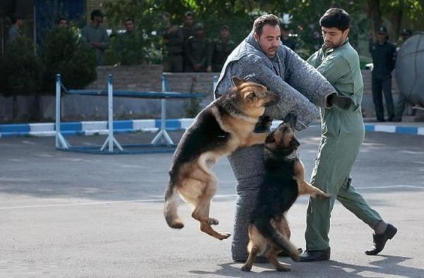 ایران مرکز آموزش منطقه ای سگ های موادیاب می شود