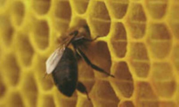 داروی دیرینه زنبورهای عسل!